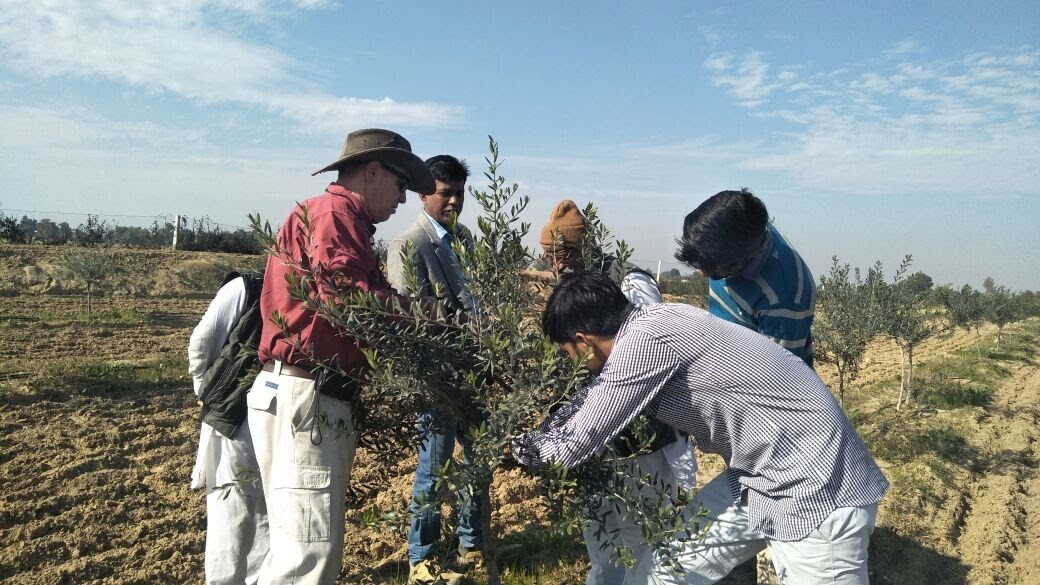 Olive crops in India