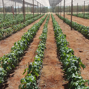 Bell peppers growth stage with ALVATECH