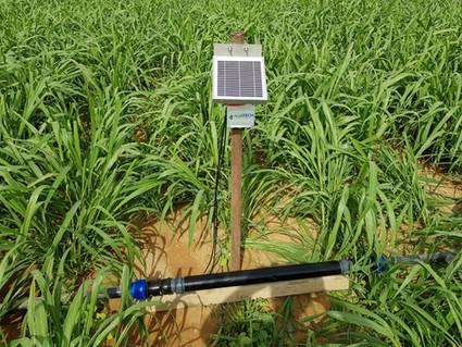 Sudan grass, Alva-5 in Palestine