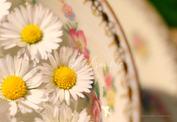 Gänseblümchen in der Tasse