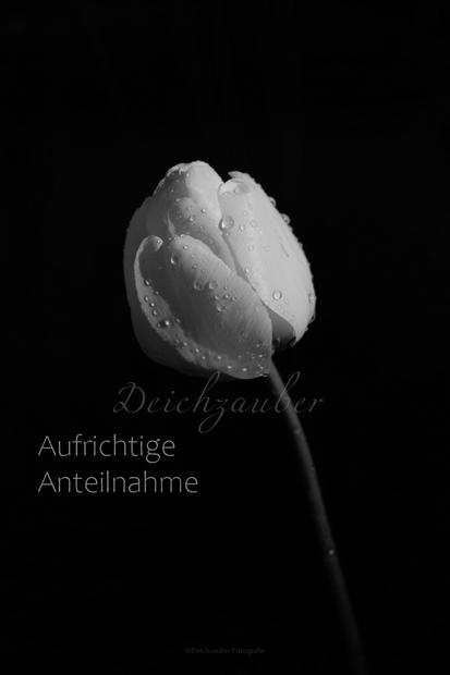 Tulpe Trauer