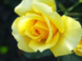 Yellow Rose.jpg