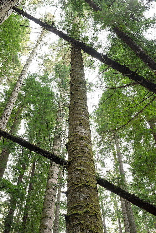 Old growth canopy