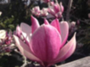 Magnolia_02_Aug3015.jpg