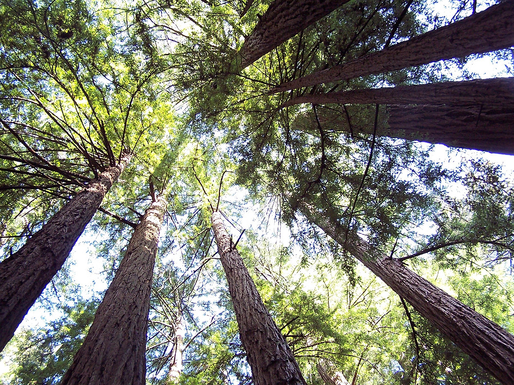 Redwood trees at Muir Woods National Monument