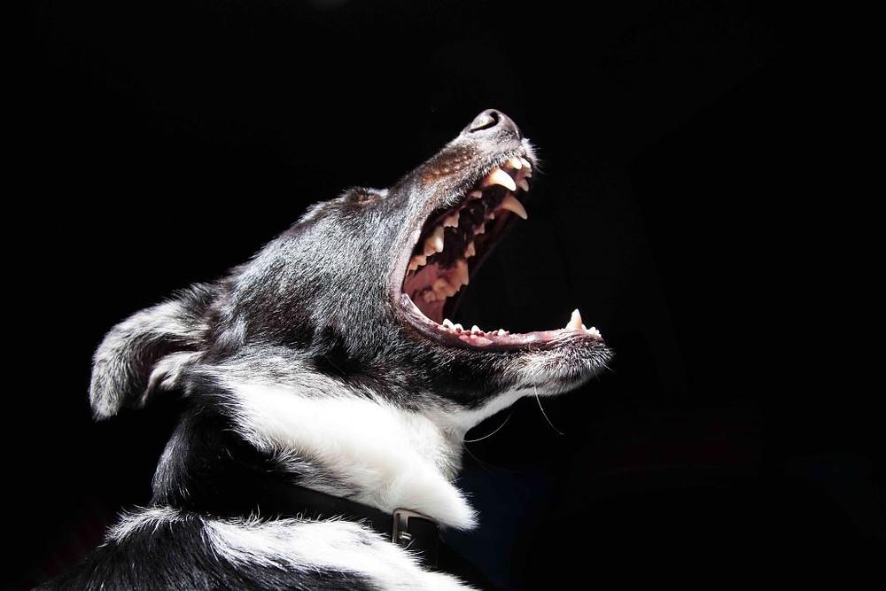 morso cane