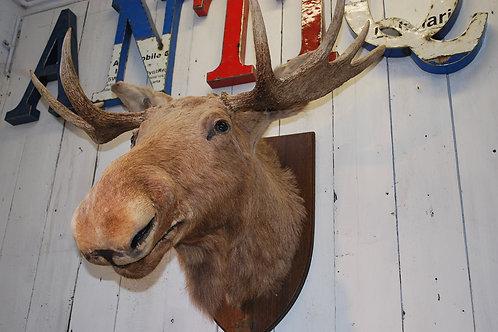 Swedish Elk head