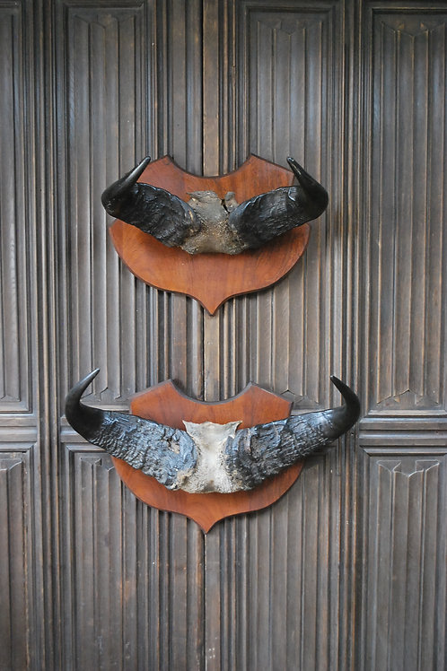 Pair of Cape Buffalo Horn Trophies on Shields