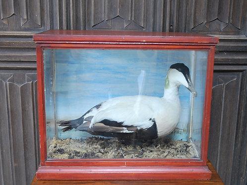 Taxidermy Eider Duck in Case