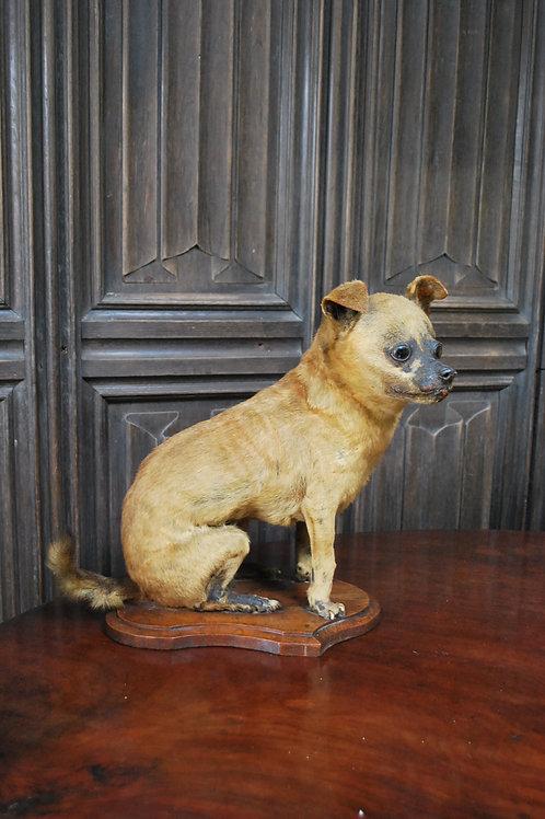 Chiwawa taxidermy dog on oak stand