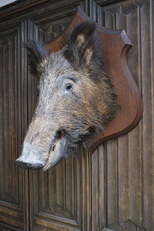 Wild Boar Taxidermy Trophy