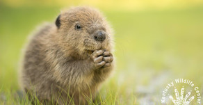 Bring Back the Beaver.