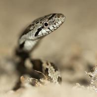 Black Rat Snake & Gray Rat Snake