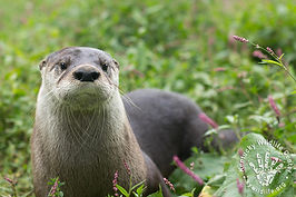 North America River Otter