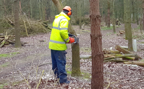 Chainsaw timber oak sampling