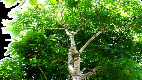 Mahagonibäume  Majestic-Trees   Bilder
