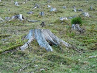 Abholzung wegen der Ausbreitung des Borkenkäfers verstärkt