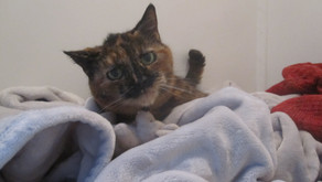 7 Fascinating Facts About Tortoiseshell Cats