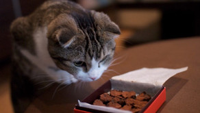 Toxic Chocolate: how to protect your cat from poisoning