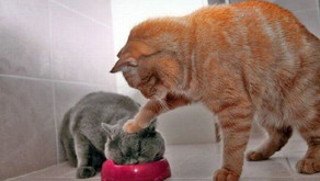 The Challenge of Feeding in a Multiple Cat Household