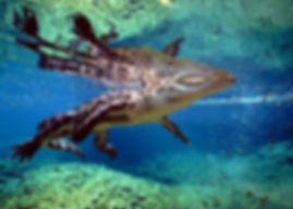 Alligator underwater 1.jpg