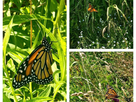 Monarch Butterflies on the Farm