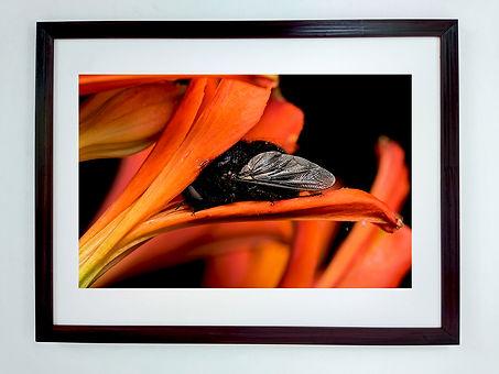 Mosca colibrí