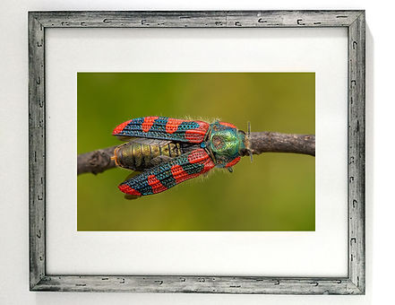Escarabajo Joya L. picta