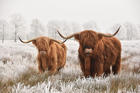 Hairy Scottish highlanders in a natural