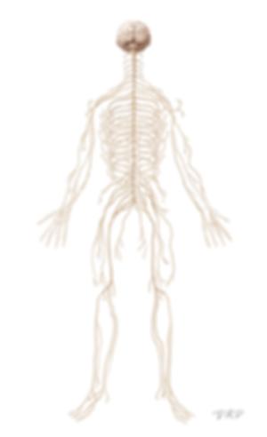 Anatomy_nervous_500.png