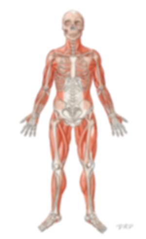 Anatomy_skeletomuscular_500.png
