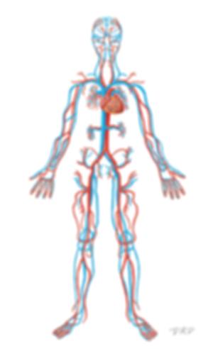 Anatomy_cardiovascular_500.png