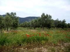 coquelicot et olivier.JPG