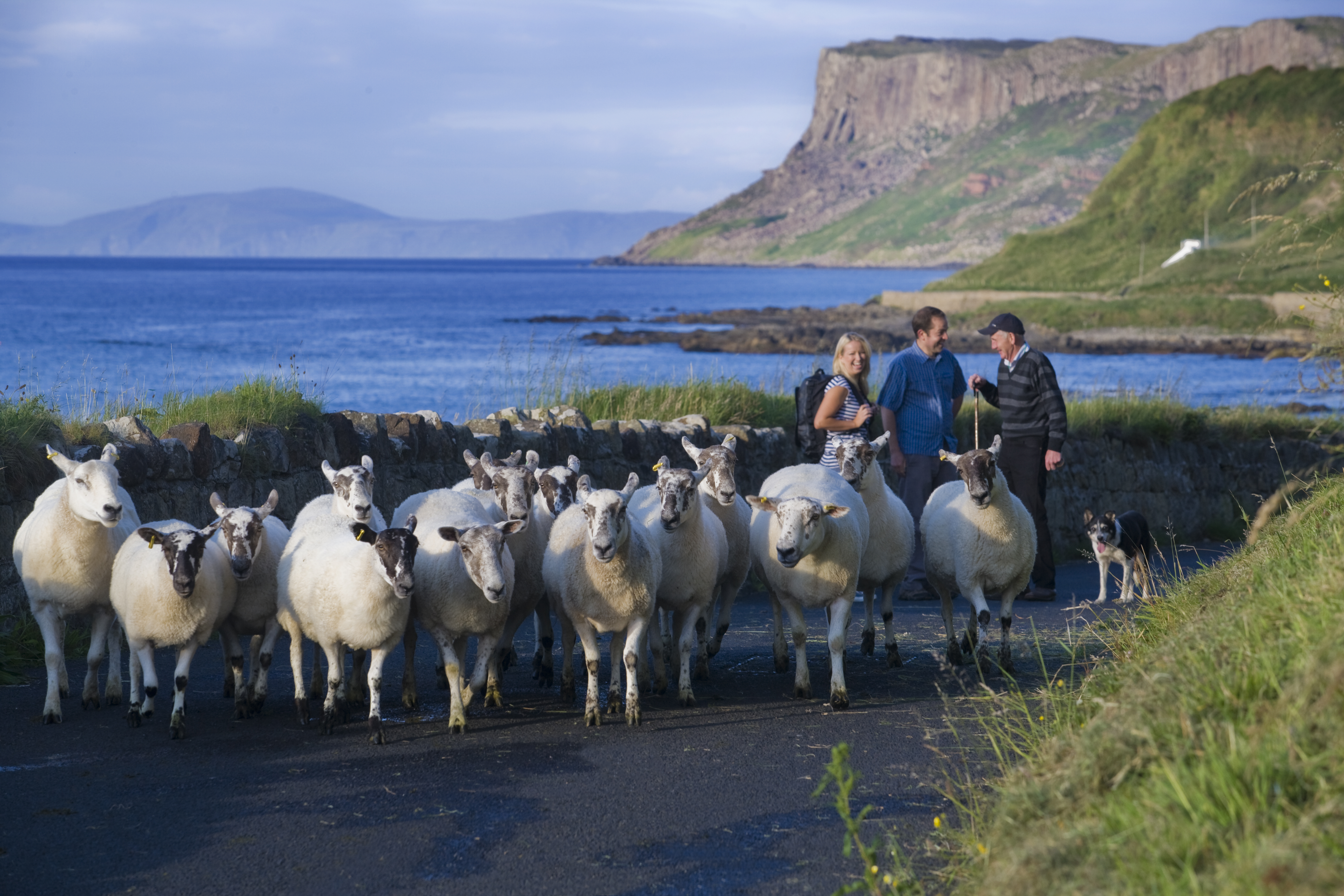Ballycastle Sheep