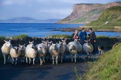 Ballycastle Sheep