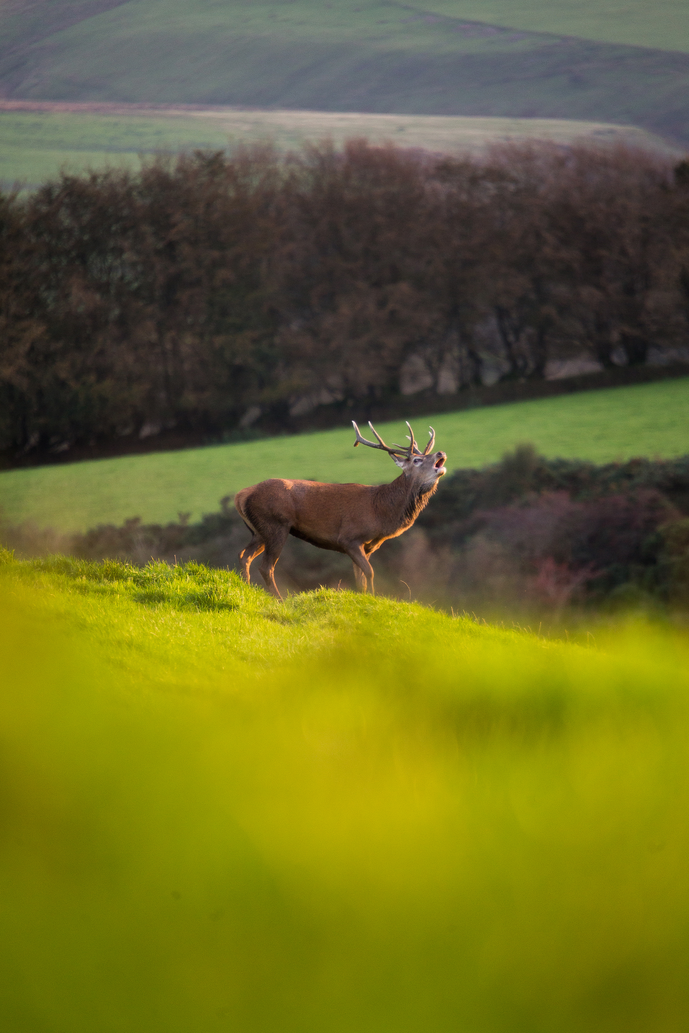 Red Stag in Rut A3