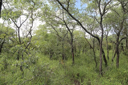 An artificially fire-suppressed savanna in South Africa, depicting a woodland of savanna trees. Image courtesy of Carla Staver.