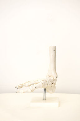 A skeleton model of a foot.