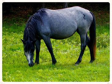 Nokota horse, jument bleu roan