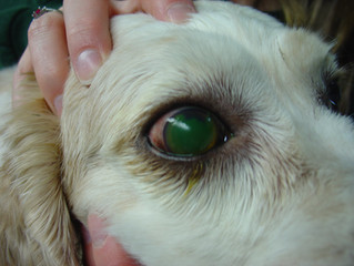 Corneal Ulcers in Dogs & Cats