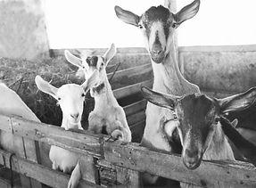 RF_goat3_edited.jpg