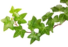 Ivy-herb.jpg