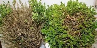 boxwood blight.jpg
