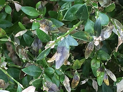 boxwood-blight2-1024x768.jpg