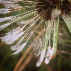 Raindrops on a Dandelion