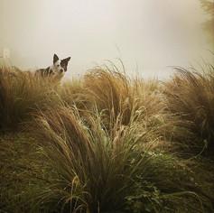 Foggy Day & a Border Collie