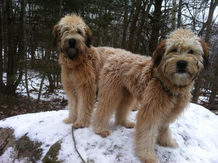 Whoodle | CT | S'Wheaten Your Life Wheatens, Whoodles