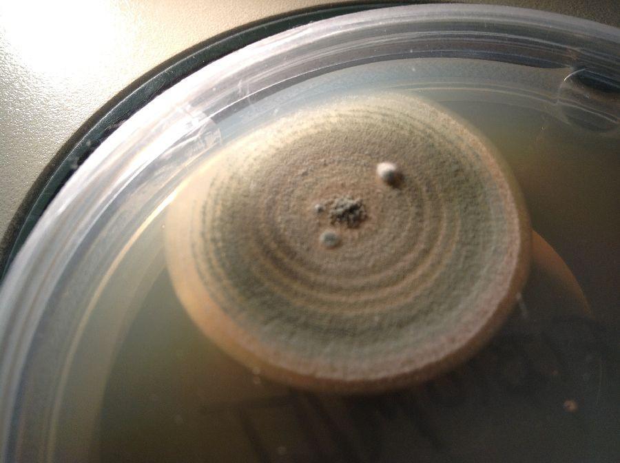Micelio de crecimiento radial