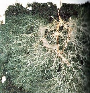 Raíces de pino micorrizado