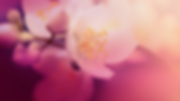 Cherry Blossom 2.png